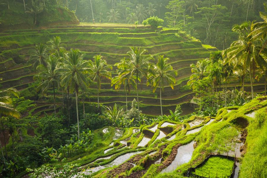 Рисові тераси на Балі