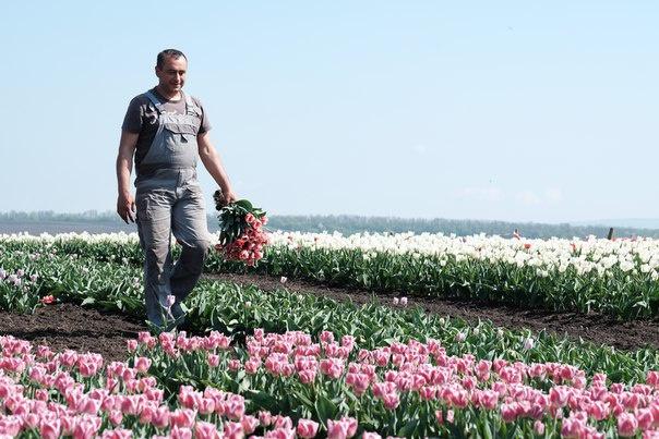 Тюльпани в Івано-Франківській області